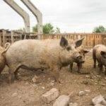 Pig Farm Animal Groan